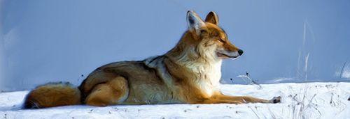 Красный волк и описание для детей 95